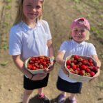 Spilman's Farm Pick our Own Strawberries